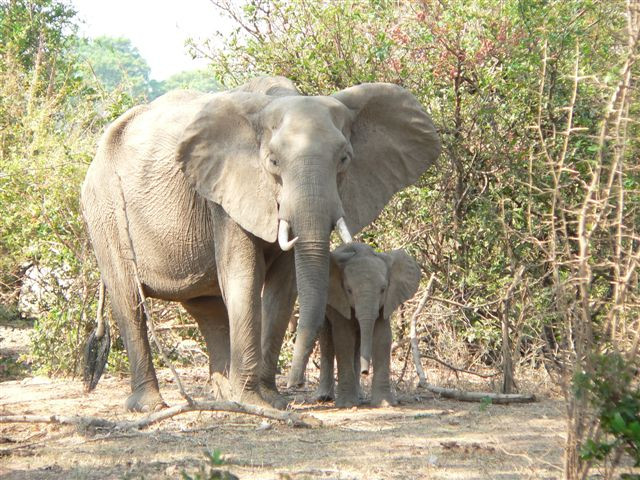 In 2007, at only one and a half years old Chamilandu was with her mother as she was shot by poachers in South Luangwa National Park. Her mother was fatally wounded, and Chamilandu (meaning Comes with Trouble) was rescued by the Department of National Parks and Wildlife and Conservation South Luangwa. She was stabilised with thanks to Chipembele Wildlife Education Trust and flown to Kafue National Park with support from Proflight Zambia.