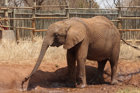 After Mulisani was moved to the Release Facility Mkaliva became more confident, very loud and playful, often amusing the viewing deck visitors as she enjoyed playing in the mud and with the water barrel during the viewing time.