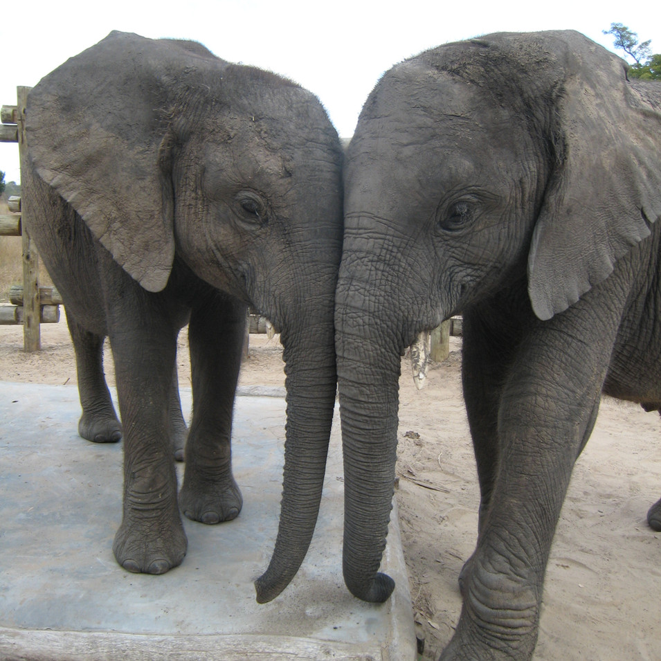 Best friends. Chamilandu formed a very close relationship with Chodoba who was 1 year her senior. They arrived at the Orphanage at around the same time, and were together for nine years before he left to live fully in the wild with another bull. Chamilandu seemed to be too closely bonded to the younger orphans to be willing to leave them and let Chodoba leave without her. Tragically he was killed inside the Ngoma forest (suspected snake bite) after living fully wild for over six months.