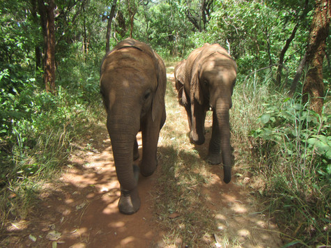 As the elephants developed in size and attitude, Mkaliva started getting bullied by Mulisani who was asserting himself as the dominant male in the herd and without a hierarchy to put him in his place. As a result, her social structure started changing and Mkaliva became much closer to Kasewe. The two are often seen close by each other on their daily walks interacting and grazing side by side.