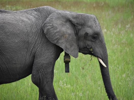 How do we identify individual elephants?