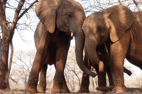 Mkaliva demonstrated more maternal characteristics when Lani joined the herd. She is often seen being affectionate and checking on this younger orphan and in return Lani seems to prefer spending her time closer to Mkaliva than the rest of the herd.