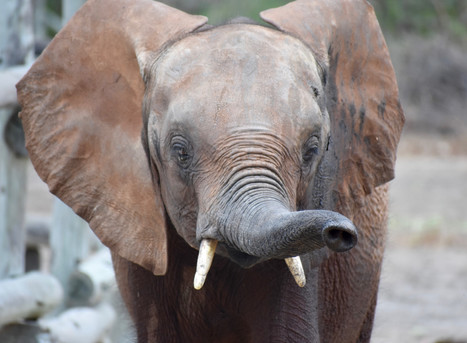 Mulisani is successfully translocated to the Kafue Release Facility!