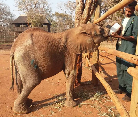 Her milk feeds were increased so as to ensure her energy levels did not crash any lower, but slowly to avoid causing too much stress on her fragile digestive system (which had been without milk for some time, so needed to adjust); a fine and delicate balance.