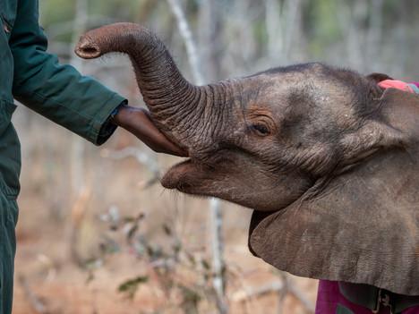 Adopt an Elephant