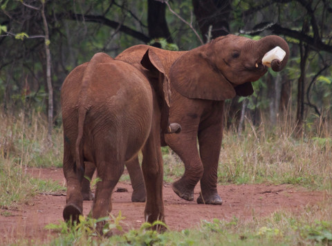 Mkaliva's physical recovery and growth is attributed to the specialised milk formula that she and the other orphans are fed every 3 hours around the clock. As soon as her trunk was big enough to handle the bottle Mkaliva became adept at holding it herself – the only challenge now is getting it back!