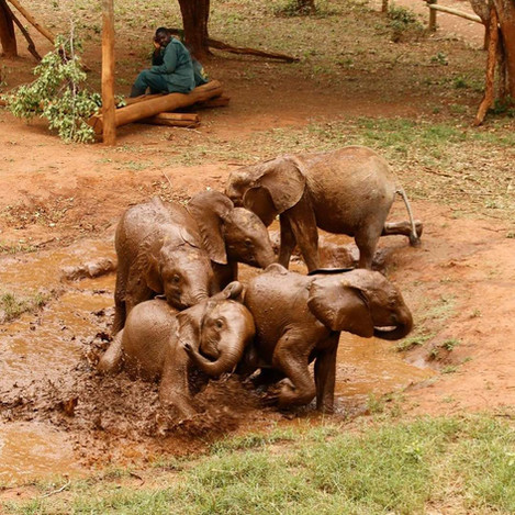 As her physical condition improved so did her emotional and social recovery. Mkaliva developed a peaceful nature and was social with all the elephants but she was particularly excited by the opportunity to mud bathe. During these very tactile mud-bathing sessions the orphans develop and reinforce their bonds and relationships and Mkaliva seemed to become particularly fond of Mulisani.