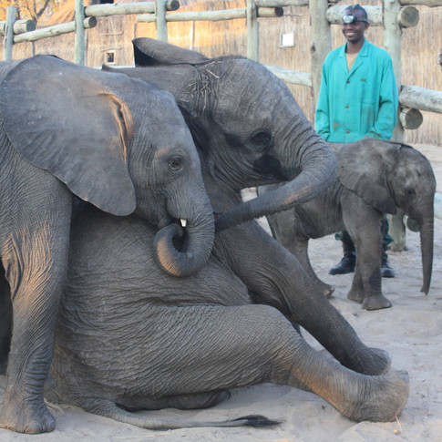 From a young age, Chamilandu has been very affectionate with the other orphans and has always tried to mother, comfort and play with them. She has formed a close relationship with Batoka (left) and Tafika (right) who joined her in 2009 as the first elephants to form the orphan herd.
