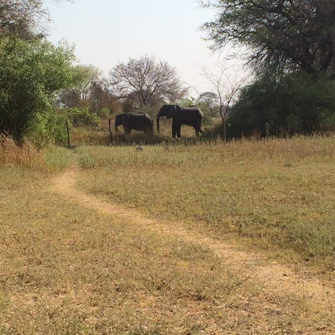 On 19th September 2017 Chamilandu was followed and isolated from the orphan herd by a large wild male elephant. At that time Chamma was in oestrus, the female hormonal cycle that evidences reproductive availability.