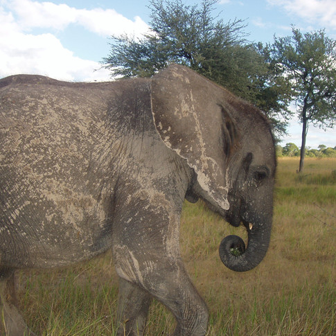 Chamilandu grew quickly into a confident and cheeky young elephant. She was renowned for breaking out of her stable and keeping her Keepers on their toes.