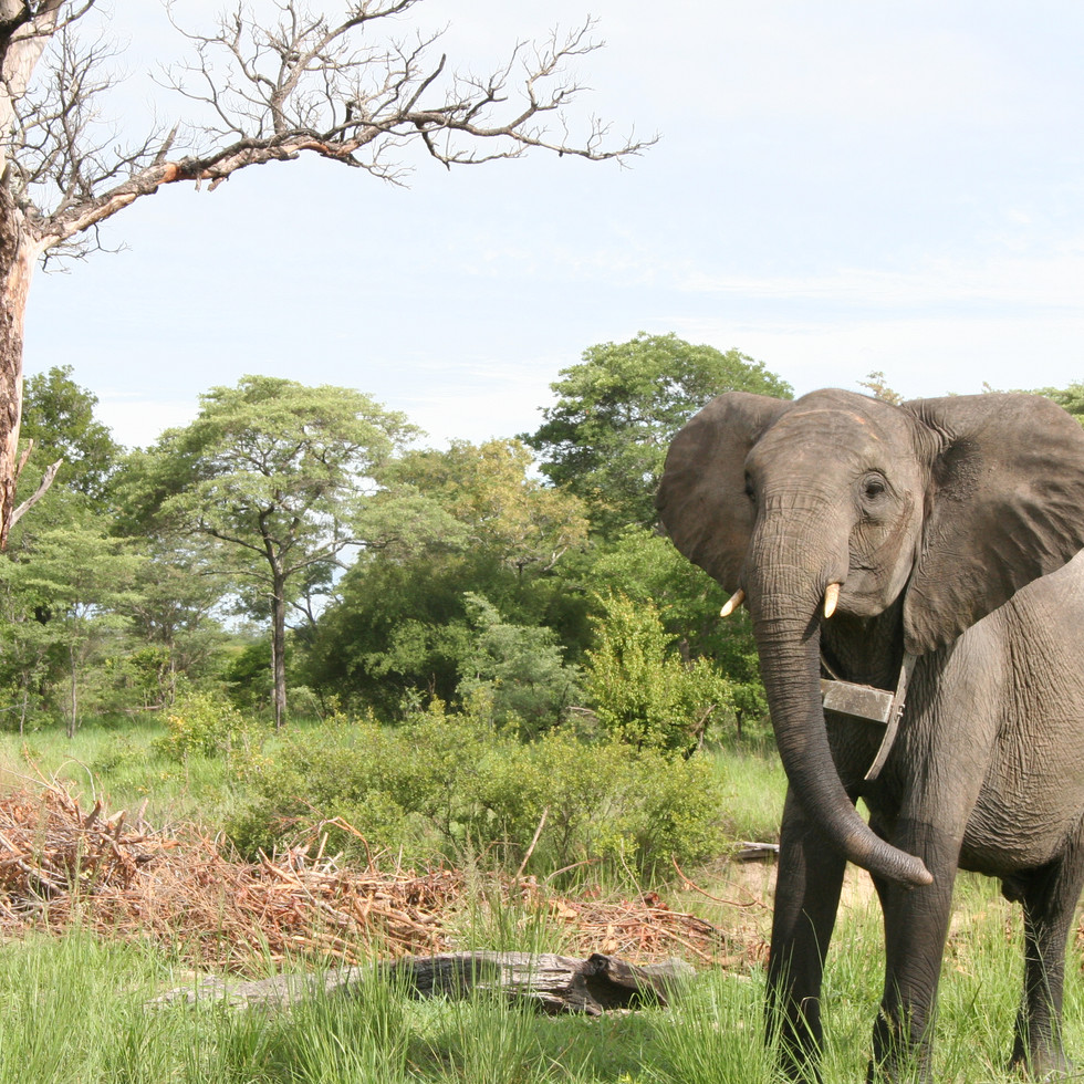 In 2015 Chamma was fitted with a satellite monitoring collar along with some of the older bulls who had also reached the 'Release Phase' of their rehabilitation and re-wilding process. The collars allow them to be tracked remotely and give GPS locations of their position every hour. This enables us to understand where the older elephants go when out of sight and, when analysed with wild elephant data, we can see evidence of wild elephant interactions, with increased frequency. This is such a reassuring sign that these orphans have a chance to survive alongside wild elephants back where they belong.