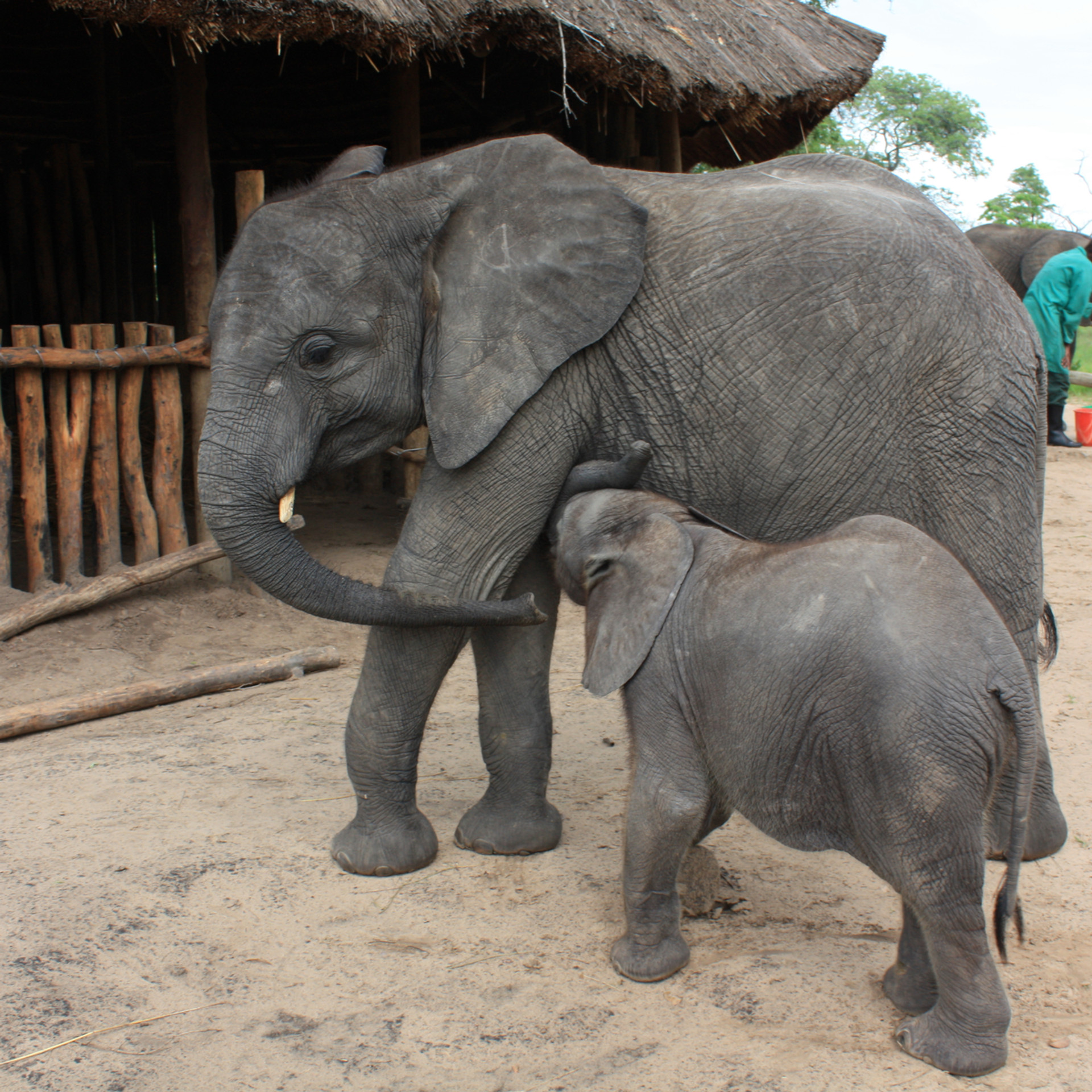 To her delight in 2010, 3 month old Rufunsa joined the herd. Chamilandu was beside herself with excitement and would not let the little one out of her sight. Despite only being only 4.5 years old she started allowing the young calf to comfort suckle, and was instrumental in his adjustment into the herd, supporting him as he overcame the loss of his mother and herd. This was the start of a very intense relationship between the two that no other orphan could compete with, even those smaller and younger than Rufunsa.