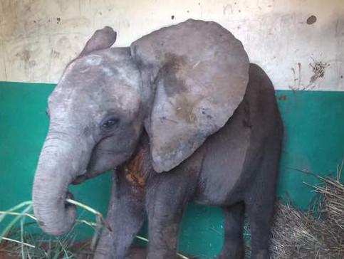 In August 2017, in the Kavalamanja area (near Lower Zambezi National Park) community members captured and restrained a small lone elephant calf. She was a dehydrated, skinny and frightened female at only 15 months old and should have been suckling her mother. Her malnutrition indicated she had been alone for some time, and without help she would not have survived. She was moved to the safety of the National Park offices to be secured and closely monitored, before her translocation to the Elephant Nursery. Due to her weakened condition this was a very difficult journey during which she repeatedly collapsed (energy levels were incredibly low) and the vet had to administer life saving IV's throughout the journey.
