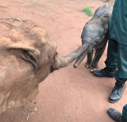 As Mkaliva settled in with her new family and life as part of a small herd she started demonstrating a number of new behaviors and in particular evidenced maternal characteristics when the herd received a newly rescued orphan.