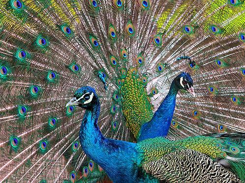 Peacocks 500 Piece