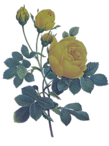 Yellow%20Roses%20Illustration%20_edited.