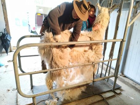 Die Wolle ist ab!