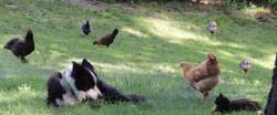 Mav & Miss with chicks