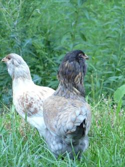 Innis & Aroon (Easter Eggers)