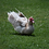 Thumbnail: Muscovy Ducks - 04/04/20 Hatch