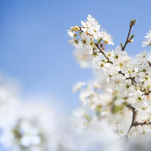 cherry-branch_1182-766.jpg