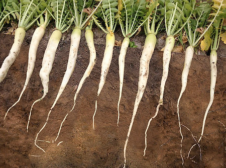 Cover Crops Radishes