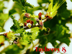 Tayberry & Teakwood