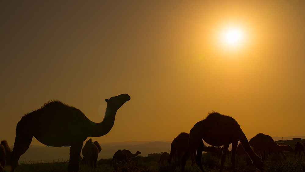 A herd of Camels at the Dead Sea at sunset