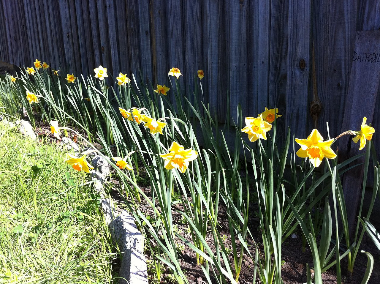 daffodils, thanks to the Cancer Council