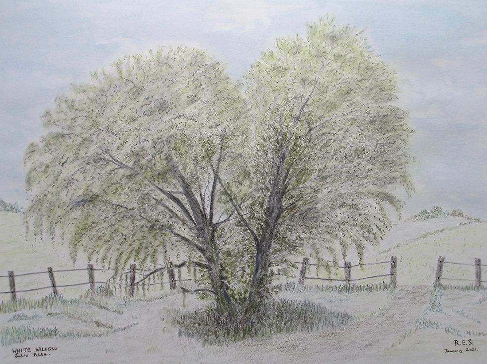 Pic  White Willow.jpg