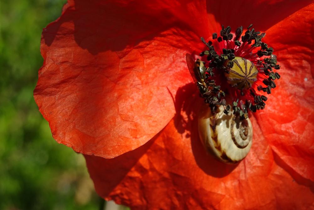 coquelicot escargot abeille sauvage