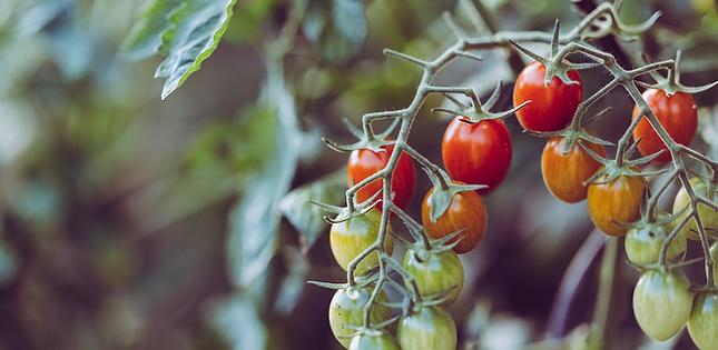 Tomates au jardin Hortus permaculture