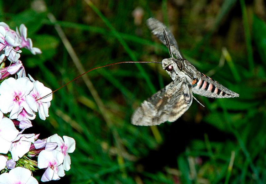 Agrius convolvuli - papillon de nuit
