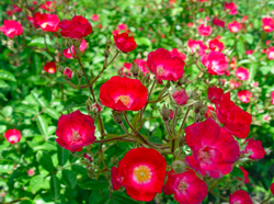 Rose grimpante fleurs simples