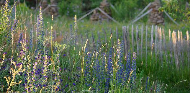 prairie fleurie biodiversité vipérine insecte