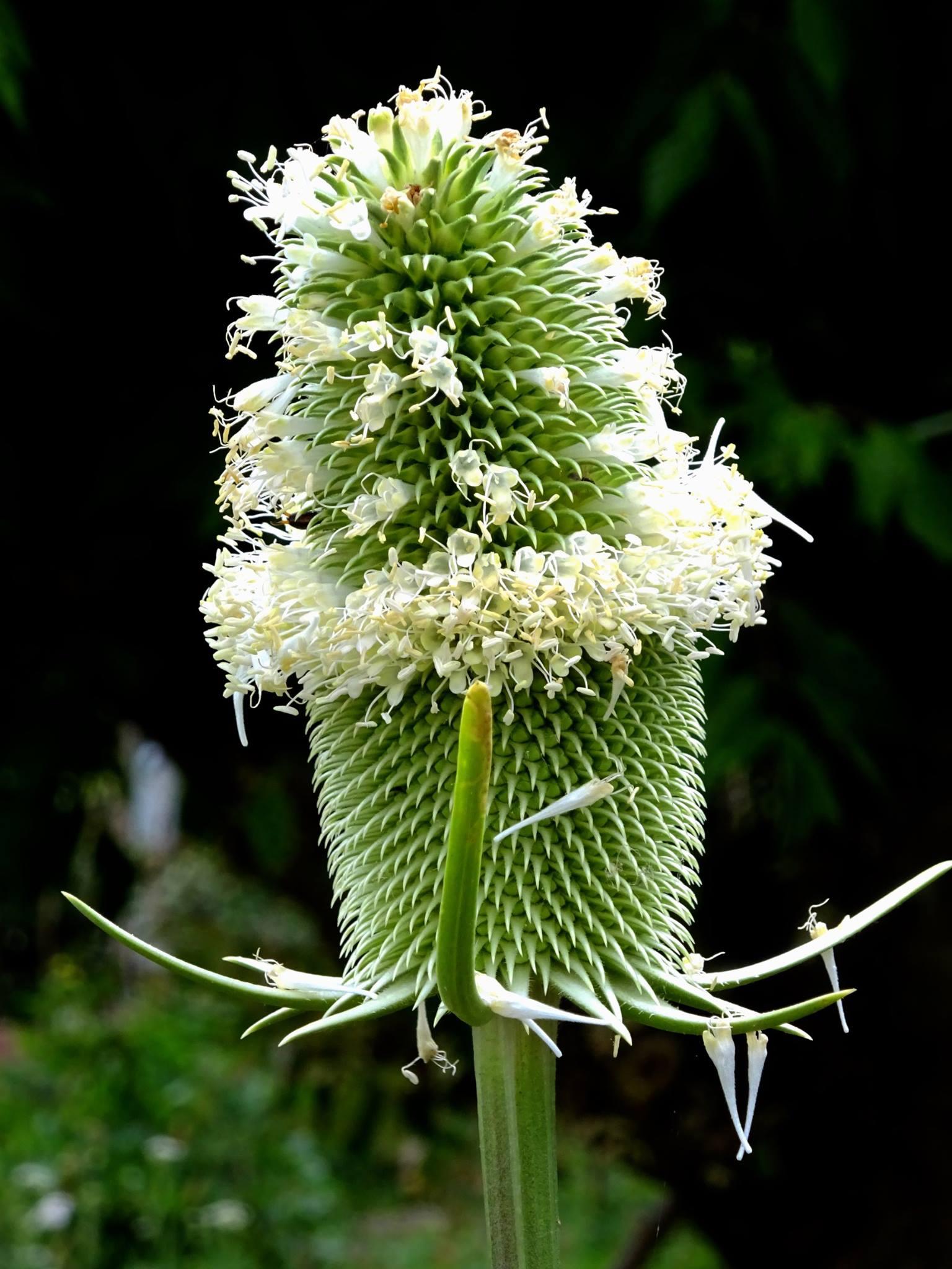 fleur de carde