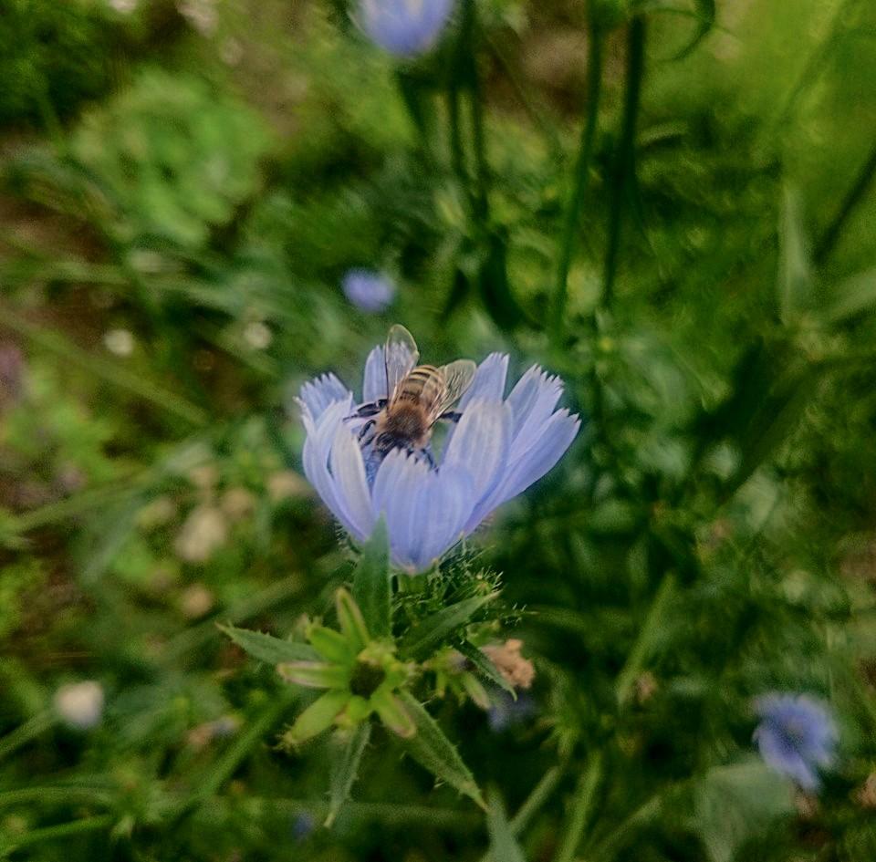 chicorée en fleur - hotspot