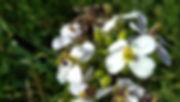 hortus apis gallus abeille.jpg