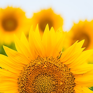 Sunflowers at Grinter Farms