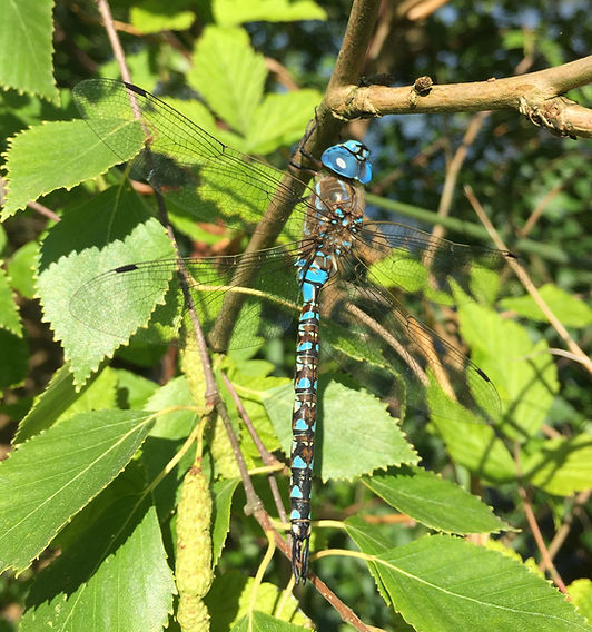 SP Blue Darner Dragonfly.JPG