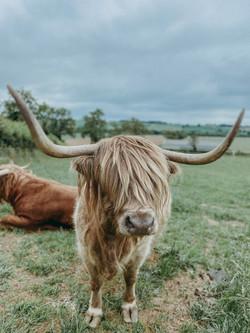 Bonnie the Highland Cattle