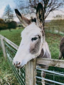 Luna the donkey