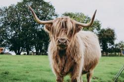Bonnie the Highland cow
