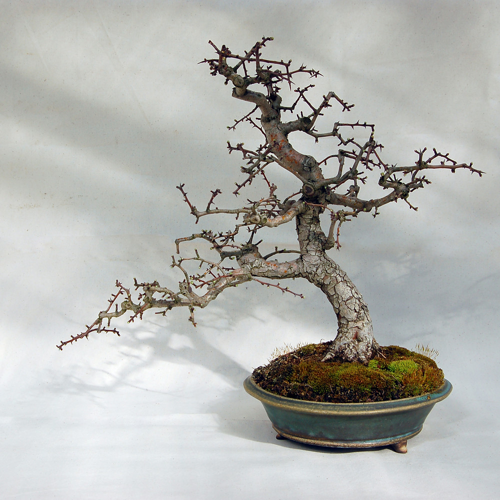 English Hawthorn Bonsai
