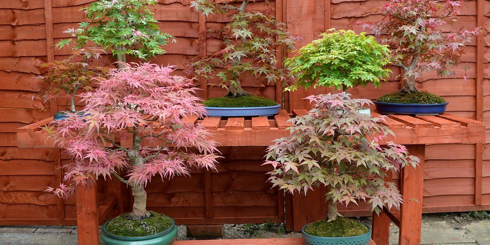 3302: Japanese Maples
