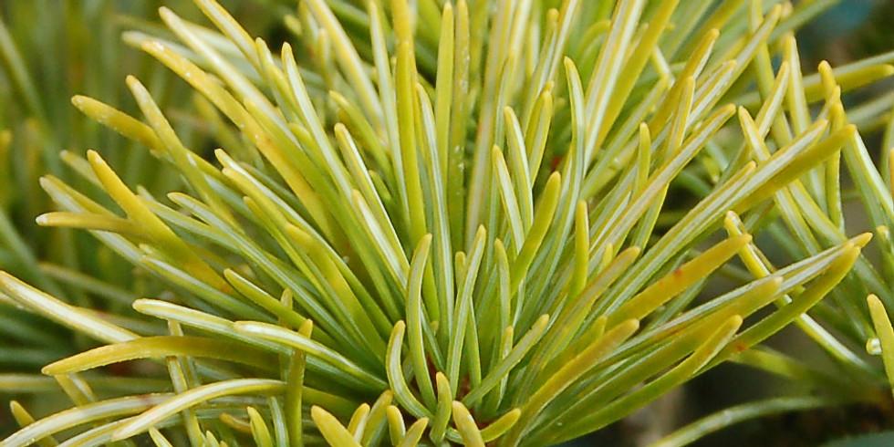 Pruning Conifer Bonsai