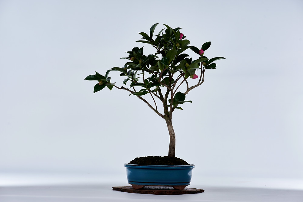 Chinese Camellia, Camellia sinensis, Bonsai