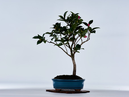 Chinese Camellia
