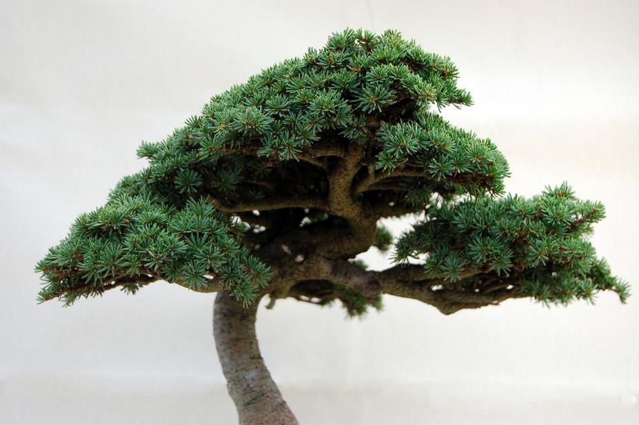 Cedrus brevifolia, crown