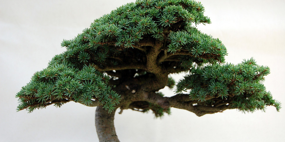 Open Bonsai Workshops - Conifer Bonsai Repoting, Pruning, Styling and Wiring (1)